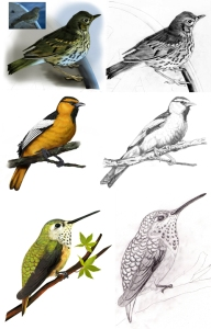 birds_illustrations